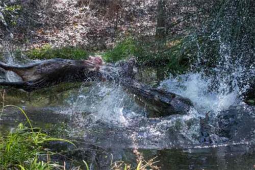 英国鳄鱼专家拍摄巨鳄残酷进食小野猪画面