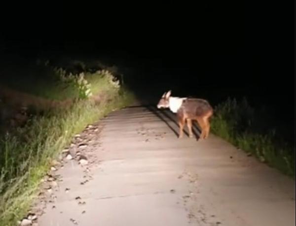 头像羊、尾像驴、角像鹿、蹄像牛...这次在果洛拍到它