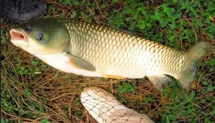 判断一条鱼的年龄,这三种方法都可以
