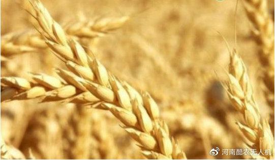 2021年小麦保险每亩交多少钱?哪些情况损失不保?