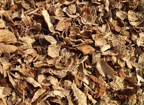 君子兰施肥就用它,盆里埋一点,叶子绿得直滴油