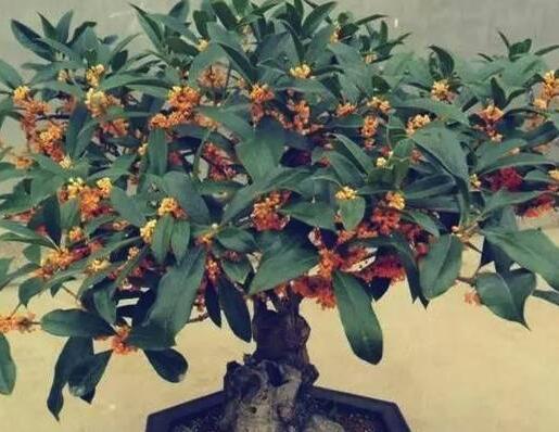 家里放上这样一盆栽就会香气四溢,还能做菜,你家养了吗?