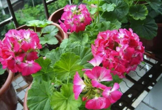 花盆里插铁钉有用吗?能不能替代硫酸亚铁?