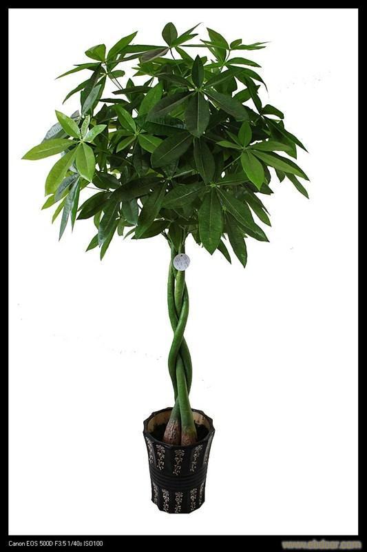 发财树烂根怎么办?