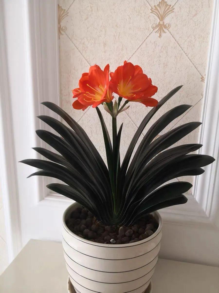 3月养君子兰,学会这几点,叶子又肥又绿,开花一簇簇,漂亮极了