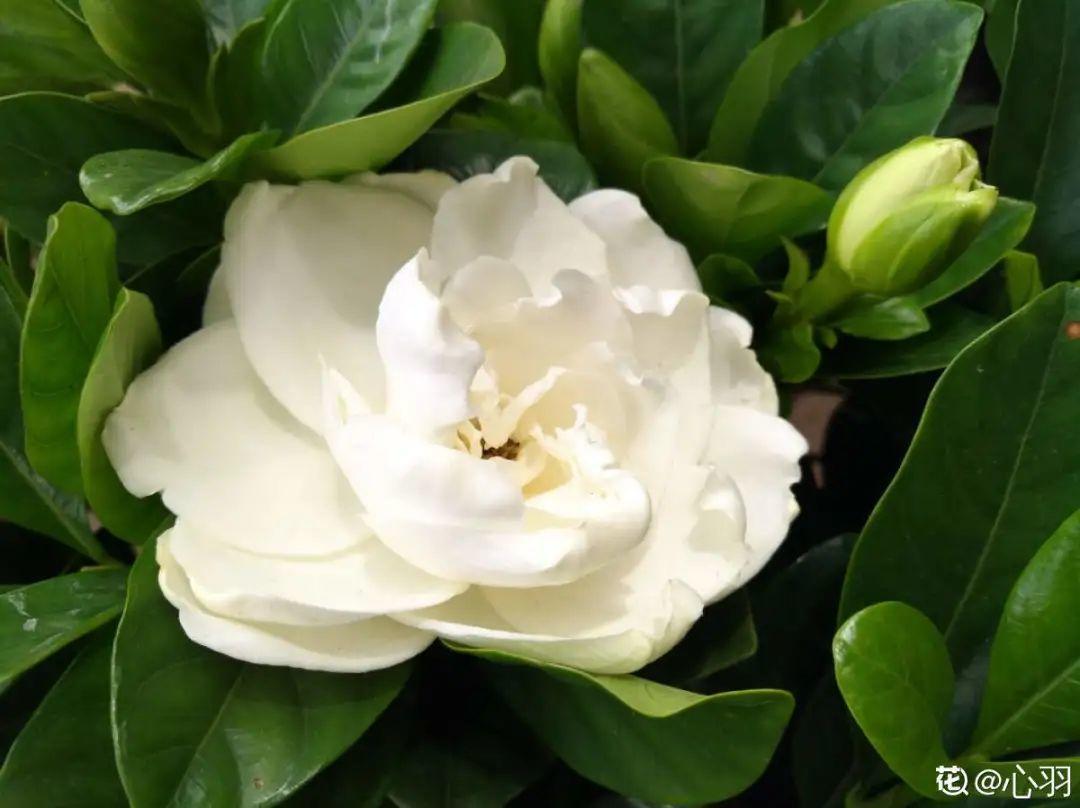 家里养盆栀子花,开花香气扑鼻,花朵洁白纯净